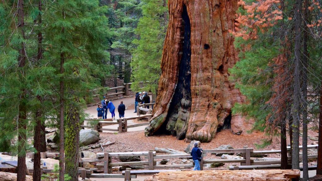 Дерево-гигант