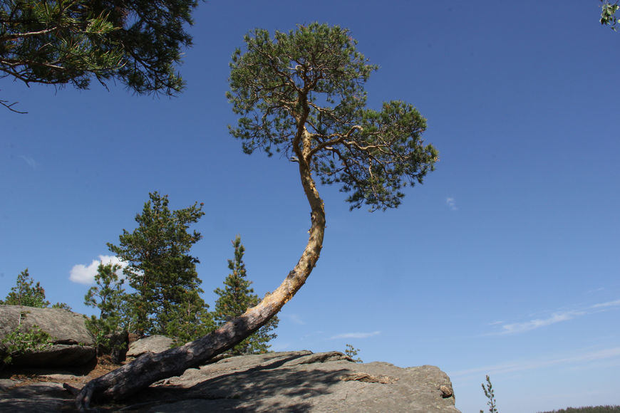 Кривое дерево
