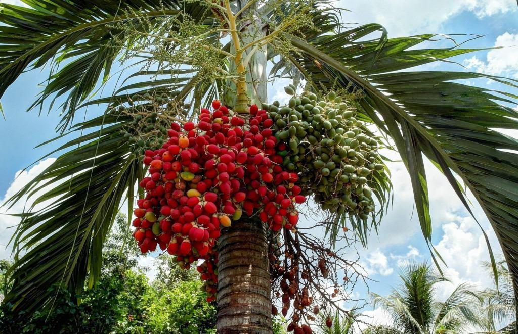 Персиковая пальма