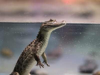 Ученые напали на след двуногого крокодила